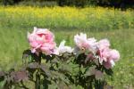 4.浜離宮恩賜庭園:花-07D 1304q
