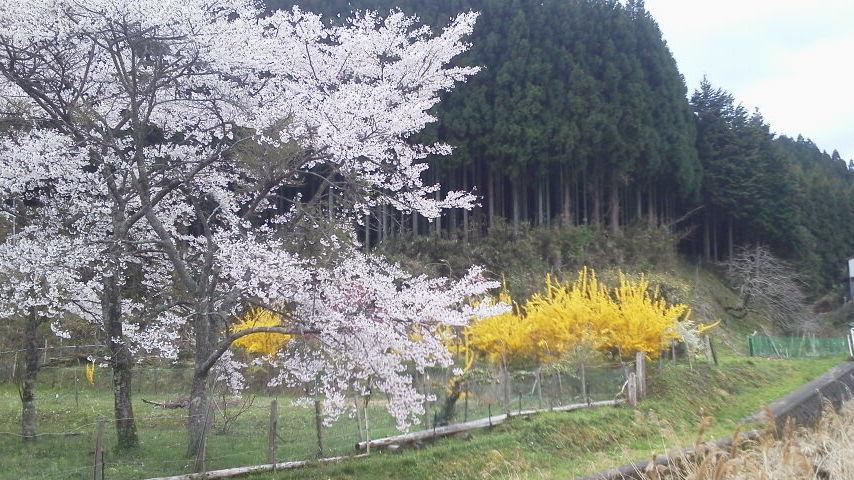 大宇陀の桜