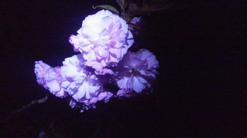闇夜に浮かぶ八重桜