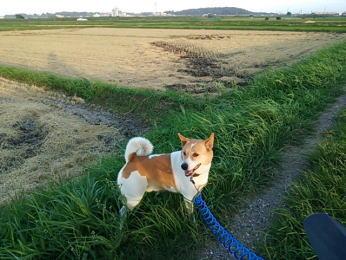 稲刈りを終えた田んぼー散歩道で