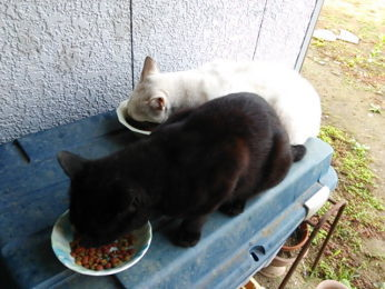 仲良く並んで食べる「シロ」と「じぇい」