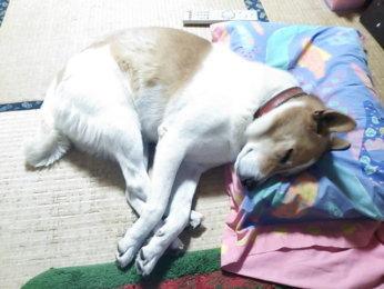 枕をつかって寝るゴンタ