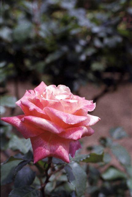 RoseRoseRose01a
