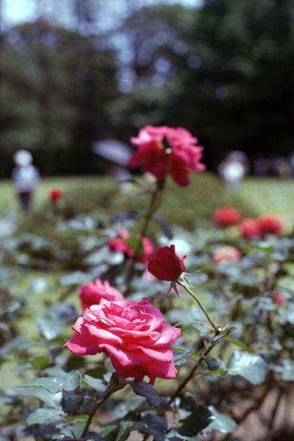 RoseRoseRose01d