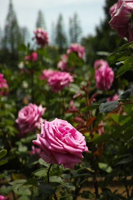 RoseRoseRose06b