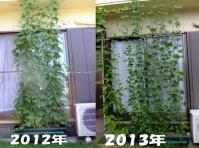 昨年のゴーヤVS今年の四角豆