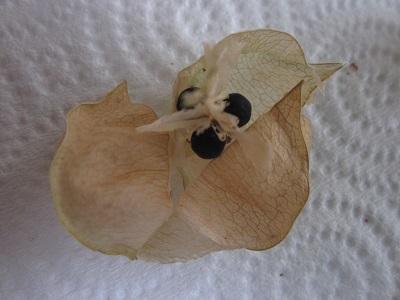 フウセンカヅラの種