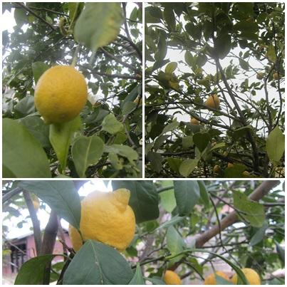 0210-レモン