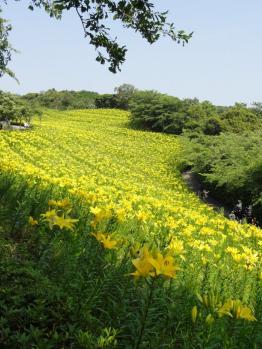 黄色いゆりの丘
