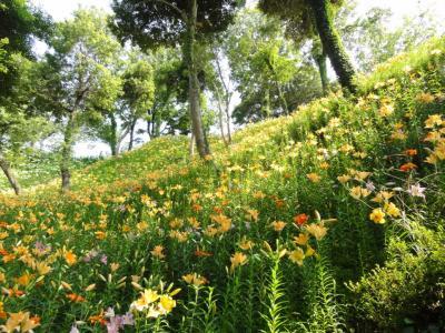 黄色いゆりの丘2
