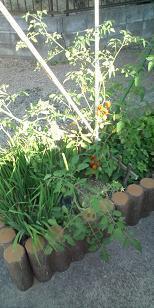 tomato@20130712A.jpg