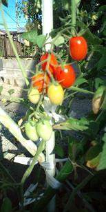 tomato@20130712B.jpg