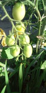 tomato@20130712C.jpg