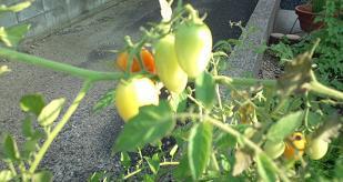 tomato@20130731.jpg