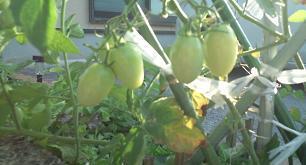 tomato@20130803.jpg