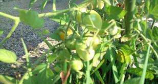 tomato@20130903.jpg