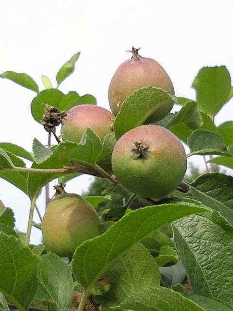 りんご12