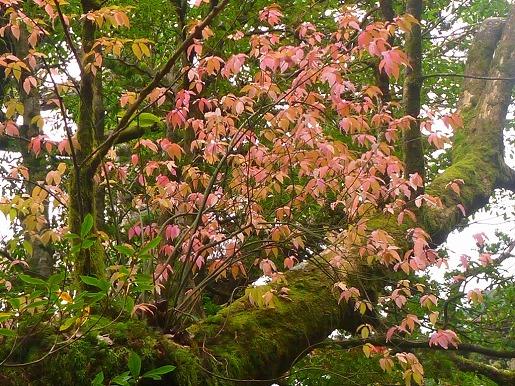 アオツリバナの紅葉