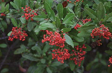 blog Toyon, Sawyer Camp P-10.5.01.jpg
