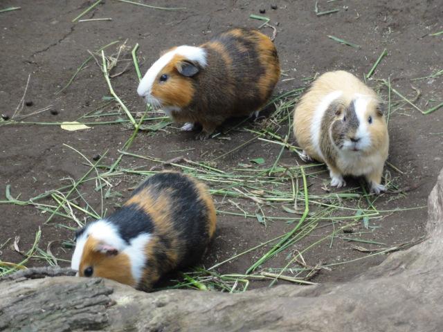 2014年10月2日 上野動物園 こども動物園 モルモット