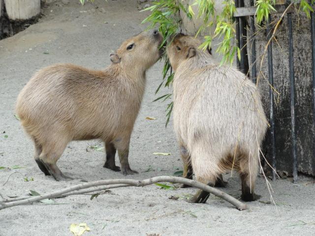2014年10月2日 上野動物園 カピバラの食事