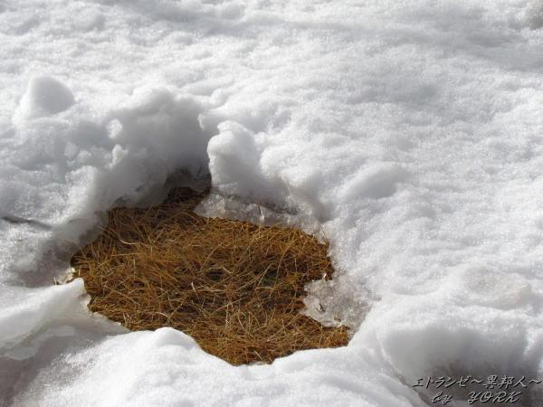 1199かなり溶け始めている庭の雪140208