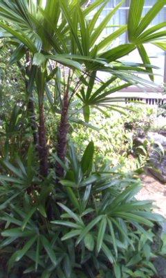 祖母の棕櫚竹
