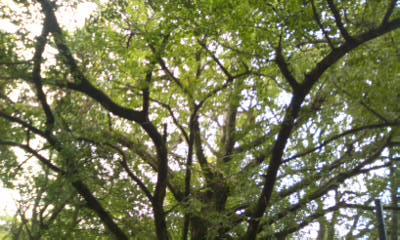 イチョウの枝