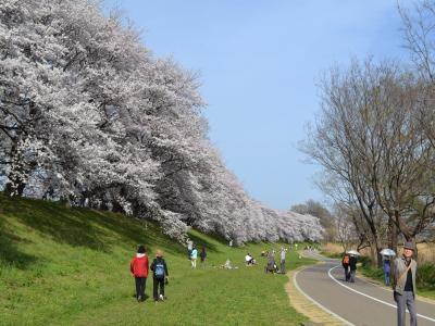 絶好の花火日和のなかでそれぞれの思いを持って桜を眺める人々