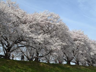 木津川の河原から見上げた背割桜の流麗な枝ぶりと花々