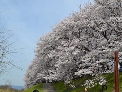 堤防をすっぽりと包み込むように枝を張る桜の木々