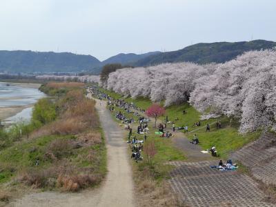 """木津川の堤防沿いに1.4kmにわたって続く""""背割桜""""の並木道"""