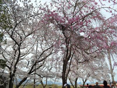 堤防の入口で咲き乱れる八重のしだれ桜