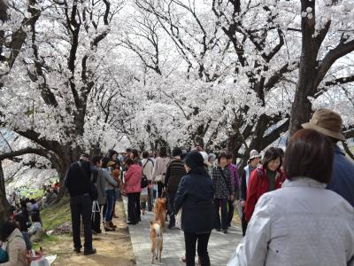 月曜日にも関わらず、堤防の花道には多くの人で溢れていた。ちなみに写真の左側に木津川、右側に宇治川が流れている