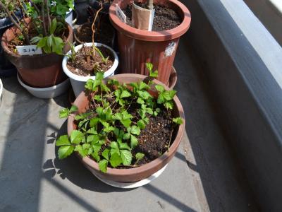 昨夏、佐渡から持ってきた鉢からイチゴが芽を出して繁茂してきたので、別の鉢に移植した