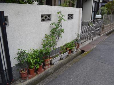 私が里子に出した街道桜、ウメ、ボケなども何とか生きていた