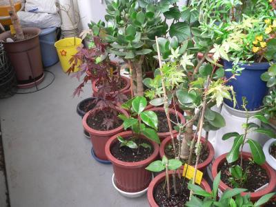 10年7月、やや成長して6号鉢に植え替えた当初の「トベラ」(写真右下)