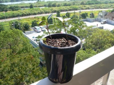 10年10月に小鉢から5号鉢に植え替えた当初の「マルバシャリンバイ」はこんなに小さかった