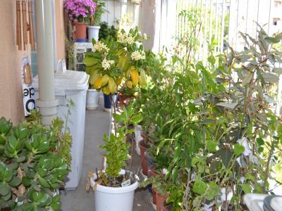 高さが65cmほどになり、ついに花を咲かせた「ヤマモモ」改め「トベラ」