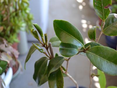 """""""12年もの""""であるA鉢1号の先端部分。合計8つの新芽から葉が開こうとしている"""