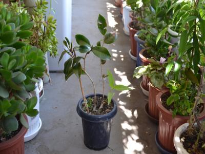 """""""12年もの""""のA鉢。1号(左)からは8つ、2号の幹の中間部分から4つの新芽が出ている"""