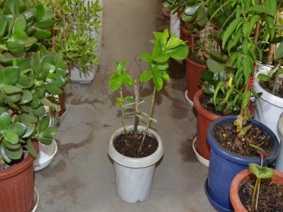 植え替えから13日が経過し、右の枝から新葉が出てきたクチナシ