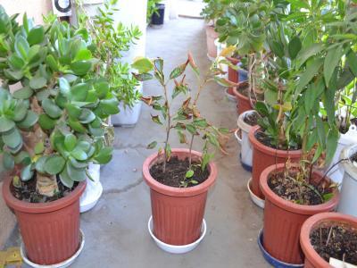 挿し木鉢から植え替え直後のサクラ2本