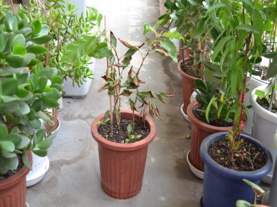 植え替えから13日が経過し、大きな新葉が出てきたサクラ2本
