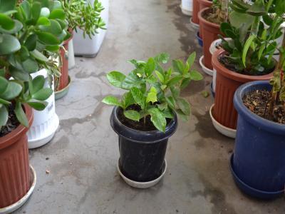 背の低いクチナシを集めて植え込んだ「一番鉢」