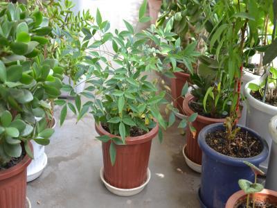 5月4日にヤマブキ「中」の鉢から引き抜いて深底鉢に植え替えをしたナンテン