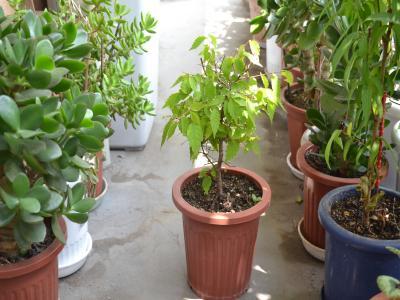 一番症状は軽かったが、植え替え後に新枝や新葉も出し、幹も太くなったヤマブキの「中」