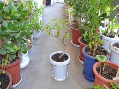 植え替え後の5番鉢。曲がりくねった幹のなかには姿にいいものがあったので小鉢に単独で植えた