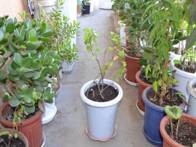 植え替え後の4番鉢。残りものと葉のない幹を集めて植えてみた