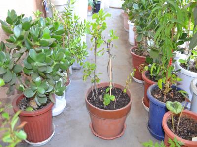 植え替え後の1番鉢。根は付いているが葉がない幹も植え込んである